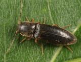 Dalopius cognatus
