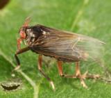 Pissonotus aphidioides
