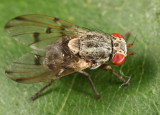 Flies - Odiniidae