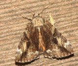 8874 – Little Underwing Moth – Catocala minuta