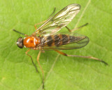 Dialysis elongata (female)