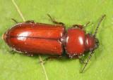 Pole Borer - Neandra brunnea (Parandrinae)