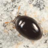 Olibrus sp.