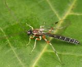 Perithous scurra pleuralis (male)