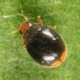 Lady Beetles - Genus Scymnus