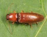 Hemicrepidius bilobatus