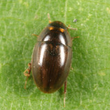Enochrus ochraceus