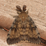 8318 - Gypsy Moth - Lymantria dispar (male)
