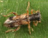 Phyllobaenus pallipennis