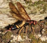 Horntails - Siricidae