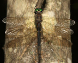 Forcipate Emerald - Somatochlora forcipata