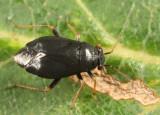 Slaterocoris stygicus
