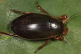 Dytiscus fasciventris