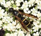 Symmorphus canadensis