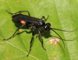 Anoplius semicinctus