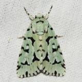 9281 - Green Marvel - Agriopodes fallax