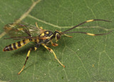 Cratichneumon paratus (male)