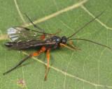 Pimpla pedalis (male)