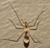 Erioptera venusta