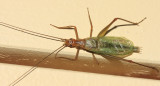 Pine Tree Cricket - Oecanthus pini