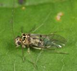 Metylophorus purus