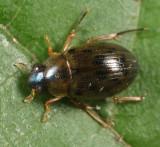 Berosus hatchi