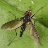 Phyllophilopsis sp.