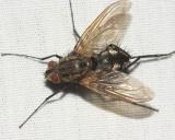 Ptilodexia sp.