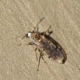 Alluaudomyia paraspina (female)