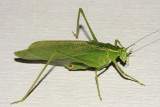 Northern Bush Katydid - Scudderia septentrionalis