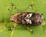 Euparius paganus