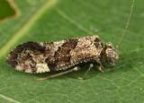 Lichenomima sp.