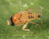 Apocephalus pergandei group