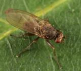 Oecothea sp.