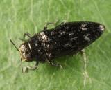 Taphrocerus gracilis