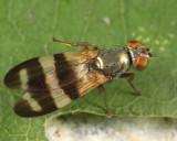 Chaetopsis fulvifrons