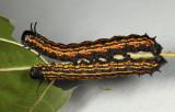 7719 - Orange-striped Oakworm - Anisota senatoria