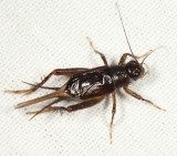 Carolina Ground Cricket - Eunemobius carolinus