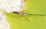 Macrocentrus aegeriae