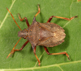 Picromerus bidens (male)