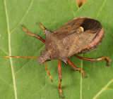 Picromerus bidens (female)