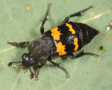 Carrion Beetles - Silphidae