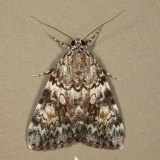 8878 - Girlfriend Underwing - Catocala amica