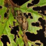 Viburnum Leaf Beetles - Pyrrhalta viburni