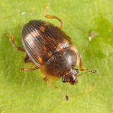 Strawberry Sap Beetle - Stelidota geminata