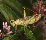 Grasshoppers genus Melanoplus