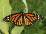 Monarch - Danaus plexippus (female)