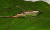 Saltmarsh Meadow Katydid - Conocephalus spartinae