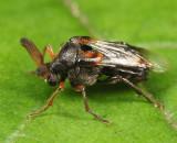 Ripiphorus walshi
