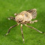 Pissonotus albovenosus